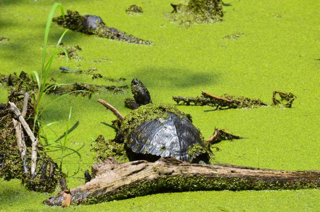 Magnolia Swamp Tour Turtle